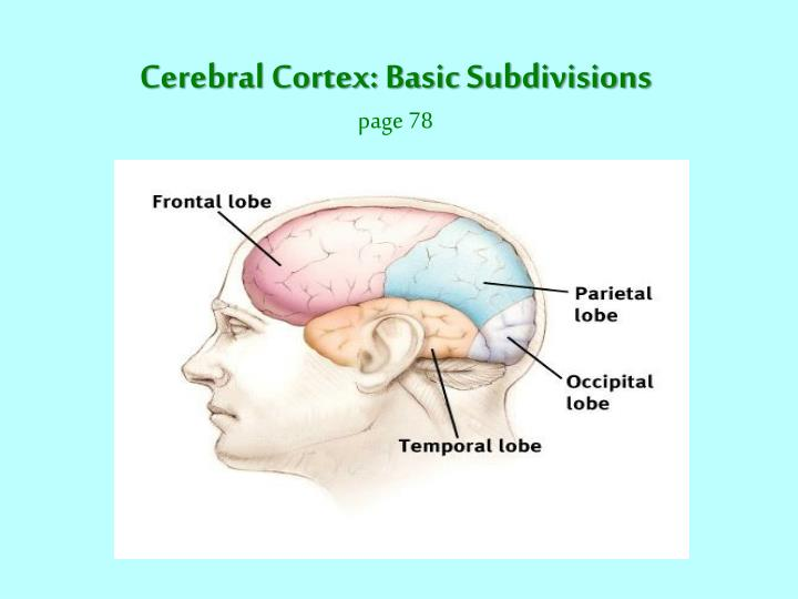 Cerebral Cortex: Basic Subdivisions