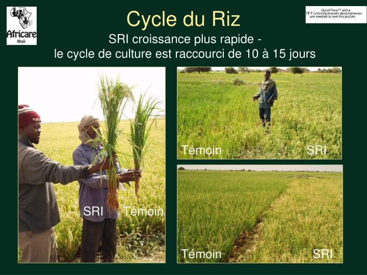 Cycle du Riz