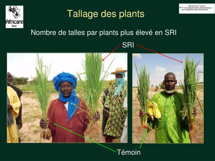 Tallage des plants
