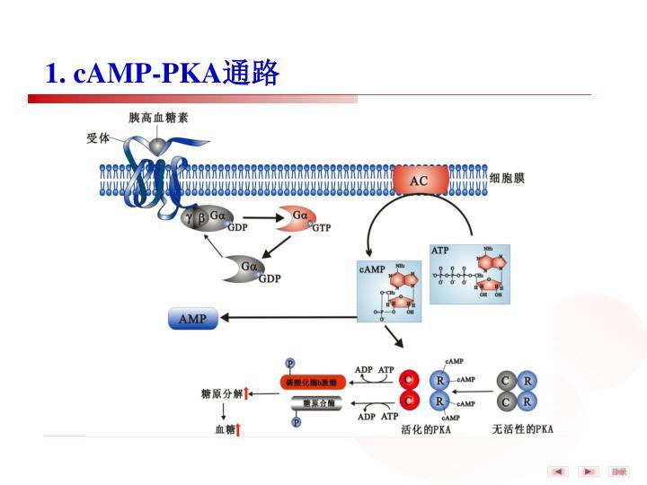 1. cAMP-PKA