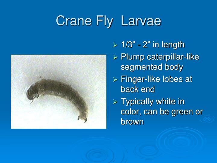 Crane Fly  Larvae