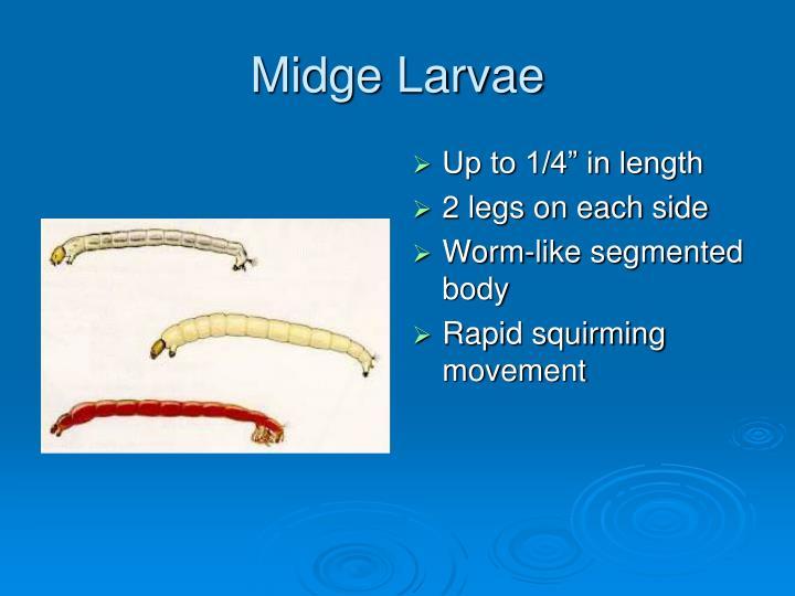 Midge Larvae