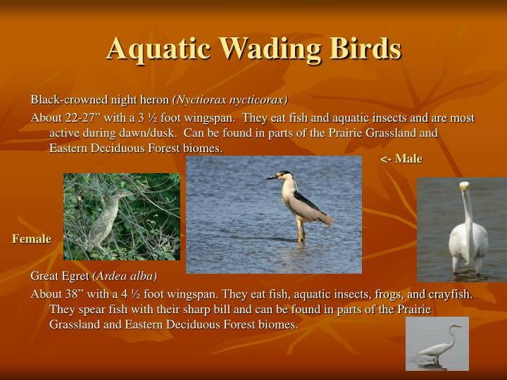 Aquatic Wading Birds