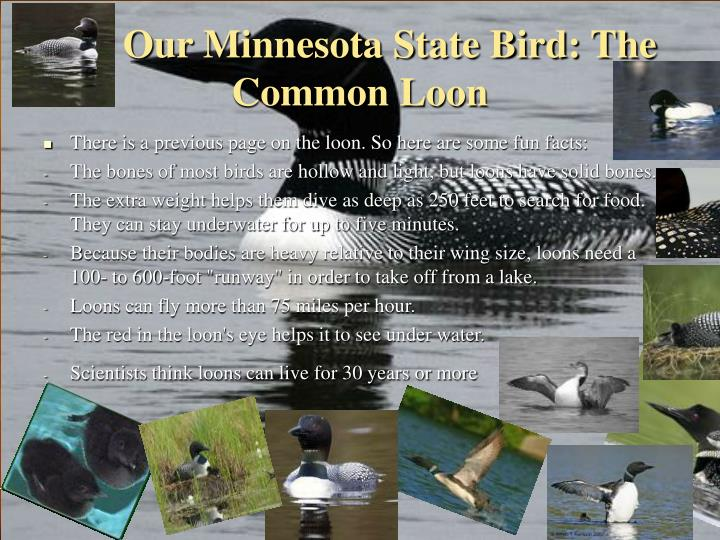 Our Minnesota State Bird: The Common Loon