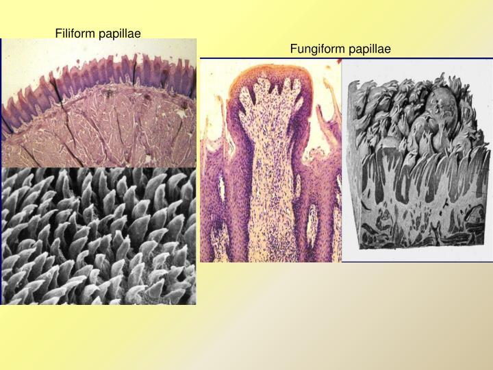 Filiform papillae