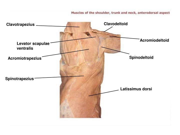 Clavodeltoid