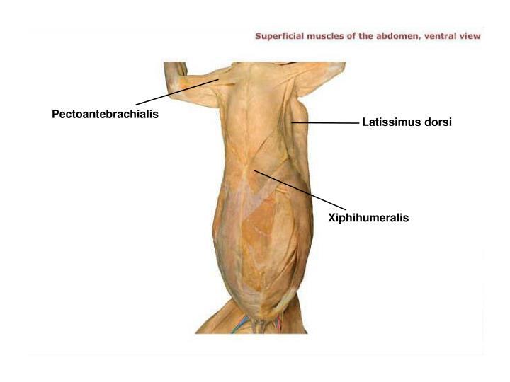 Pectoantebrachialis