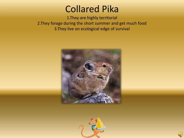Collared Pika