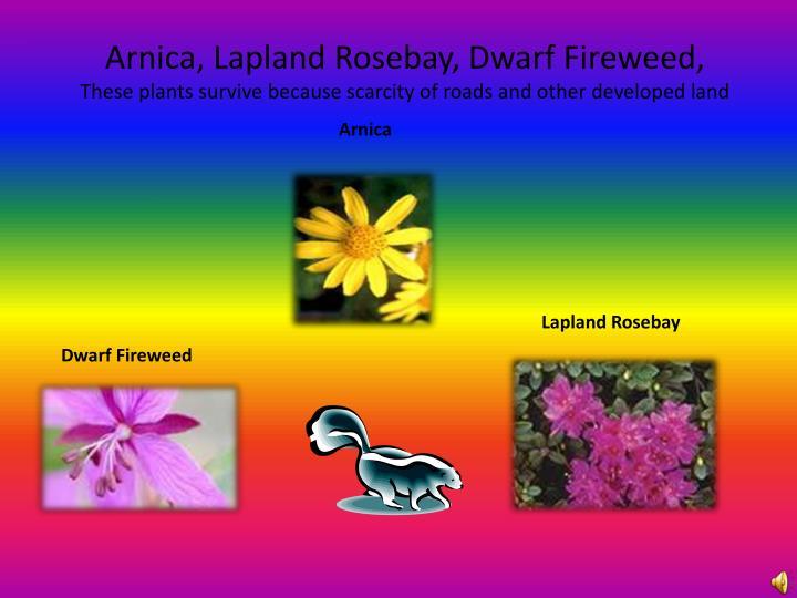 Arnica, Lapland Rosebay, Dwarf Fireweed,