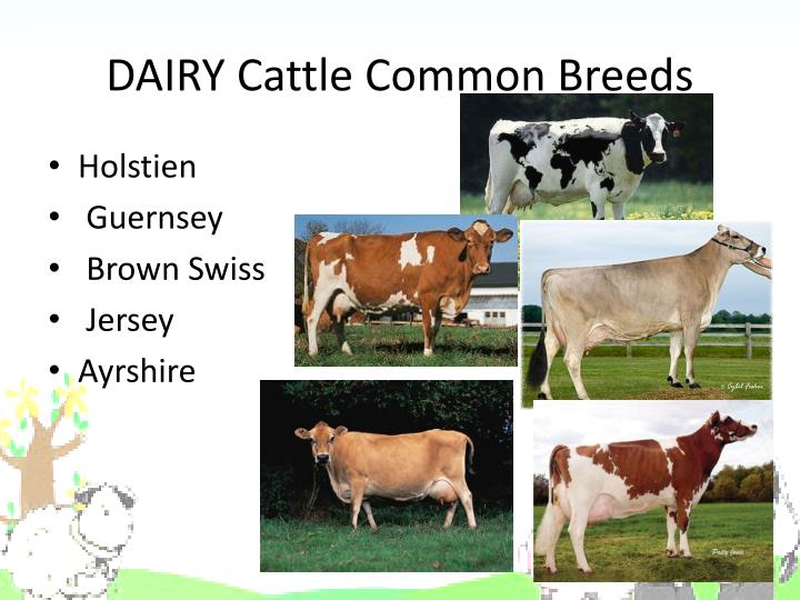 DAIRY Cattle Common Breeds