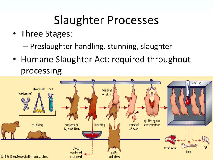 Slaughter Processes