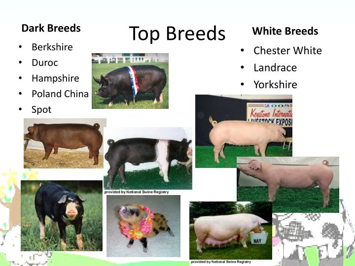 Top Breeds