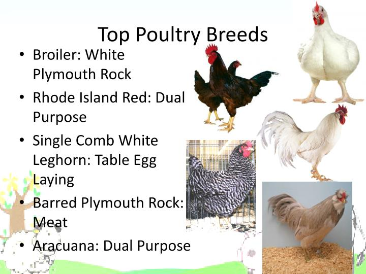Top Poultry Breeds