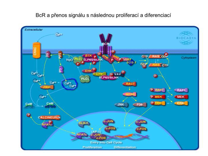 BcR a přenos signálu s následnou proliferací a diferenciací