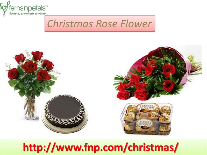 Christmas Rose Flower