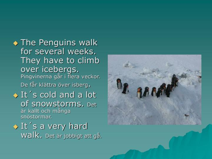 The Penguins walk for several weeks. They have to climb over icebergs.