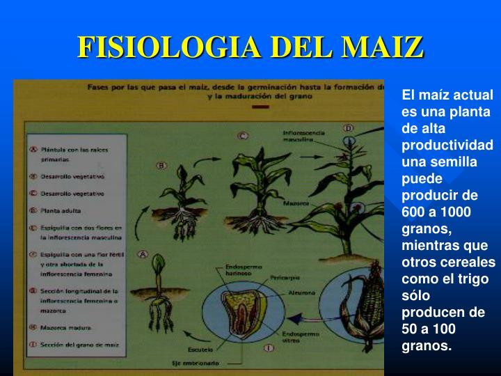 FISIOLOGIA DEL MAIZ