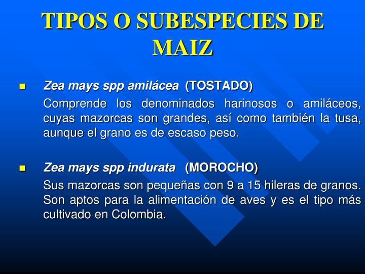 TIPOS O SUBESPECIES DE MAIZ