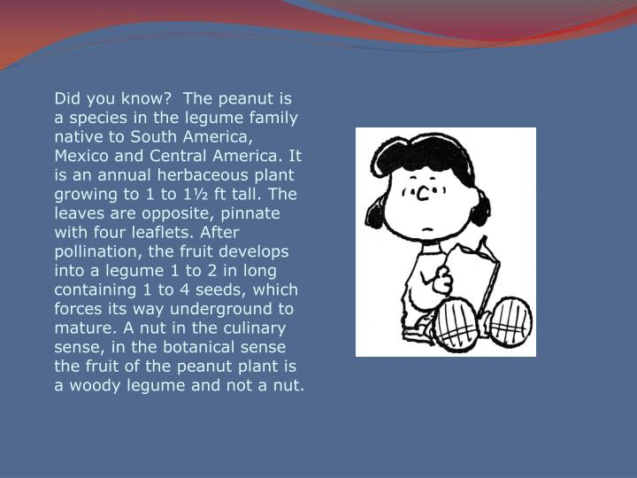 Did you know?  The peanut is a species in the legume family native to South America, Mexico and Cent...