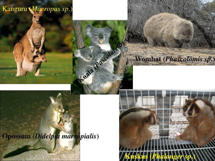 Kanguru (