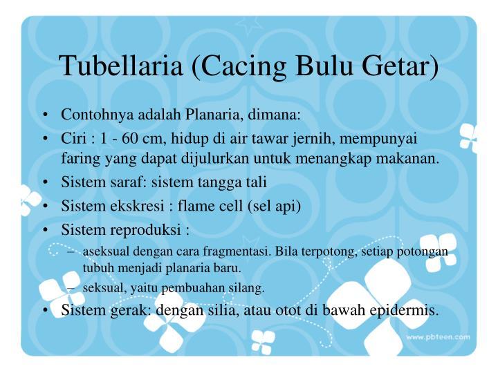 Tubellaria (Cacing Bulu Getar)