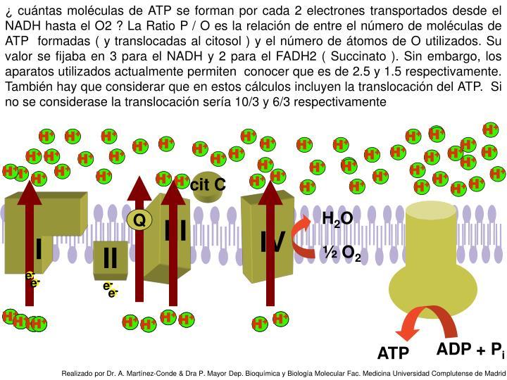 ¿ cuántas moléculas de ATP se forman por cada 2 electrones transportados desde el NADH hasta el O2 ? La Ratio P / O es la relación de entre el número de moléculas de ATP  formadas ( y translocadas al citosol ) y el número de átomos de O utilizados. Su valor se fijaba en 3 para el NADH y 2 para el FADH2 ( Succinato ). Sin embargo, los aparatos utilizados actualmente permiten  conocer que es de 2.5 y 1.5 respectivamente. También hay que considerar que en estos cálculos incluyen la translocación del ATP.  Si no se considerase la translocación sería 10/3 y 6/3 respectivamente