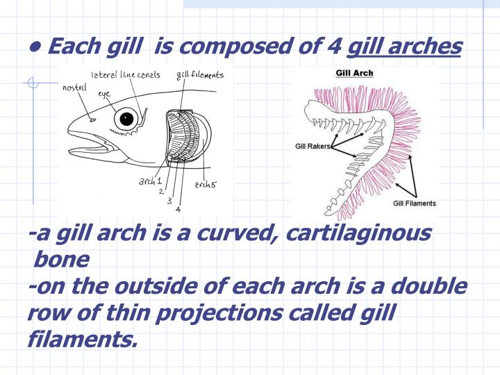 • Each gill  is composed of 4