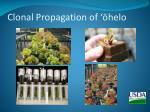clonal propagation of helo