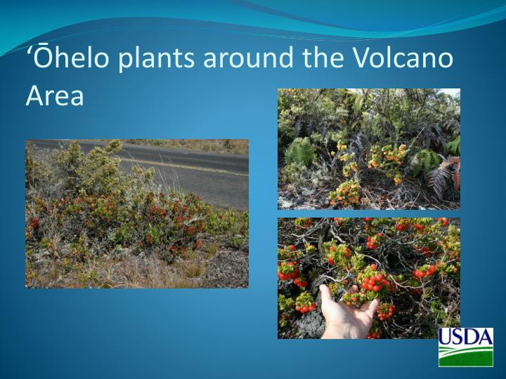 'Ōhelo plants around the Volcano Area