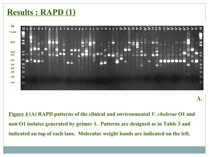 Results : RAPD (1)