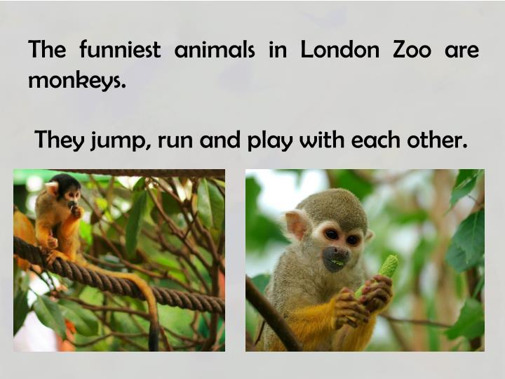 The funniest animals in London Zoo are monkeys.