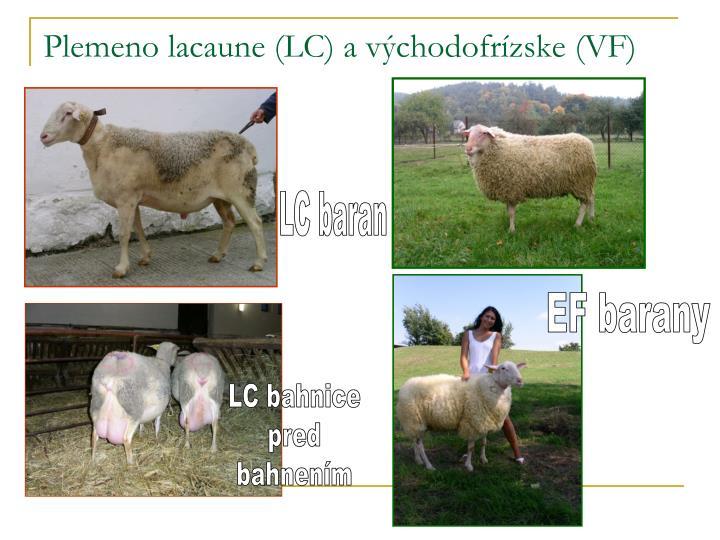 Plemeno lacaune (LC) a východofrízske (VF)
