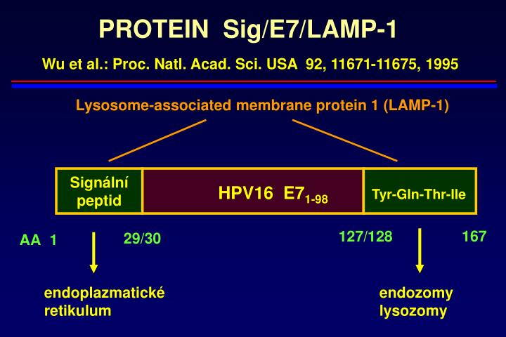 PROTEIN  Sig/E7/LAMP-1