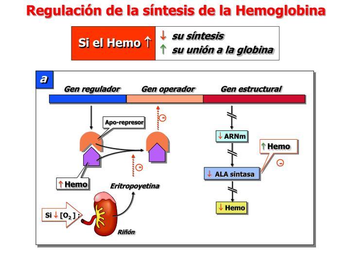 Regulación de la síntesis de la Hemoglobina