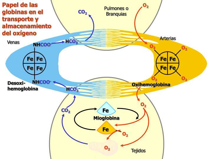 Papel de las globinas en el transporte y almacenamiento del oxígeno