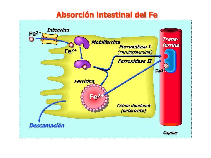 Absorción intestinal del Fe