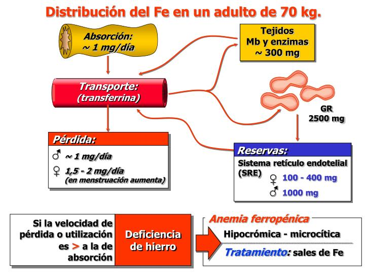 Distribución del Fe en un adulto de 70 kg.