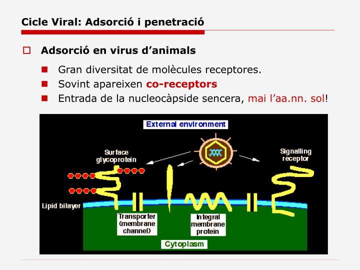Cicle Viral: Adsorció i penetració