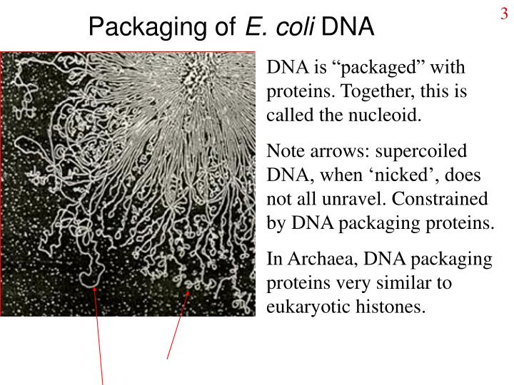 Packaging of e coli dna