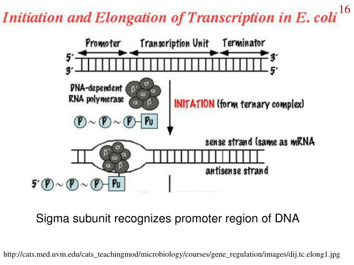 Sigma subunit recognizes promoter region of DNA