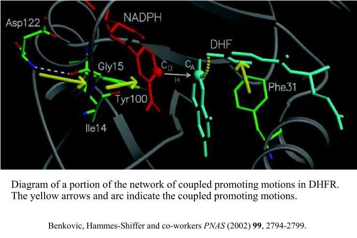 Diagram of a portion of the network of coupled promoting motions in DHFR. The yellow arrows and arc indicate the coupled promoting motions.