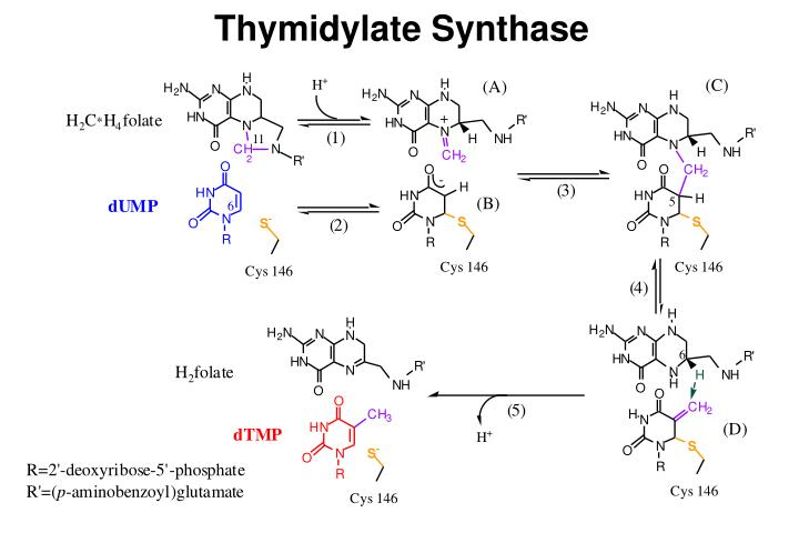 Thymidylate Synthase