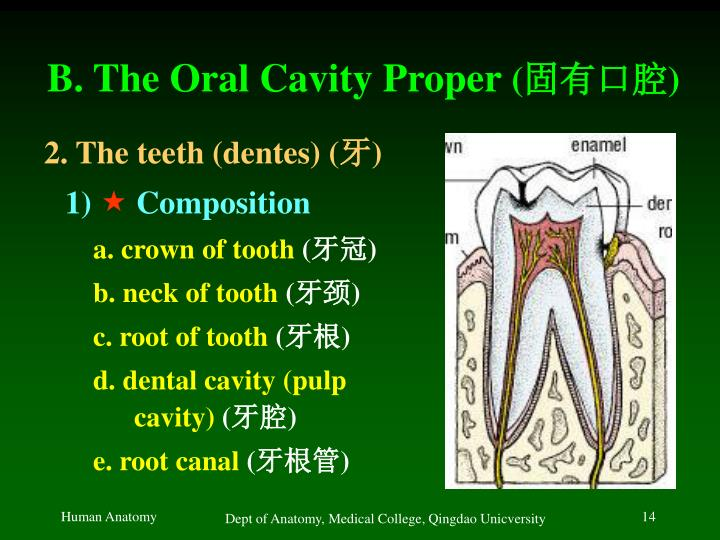 B. The Oral Cavity Proper