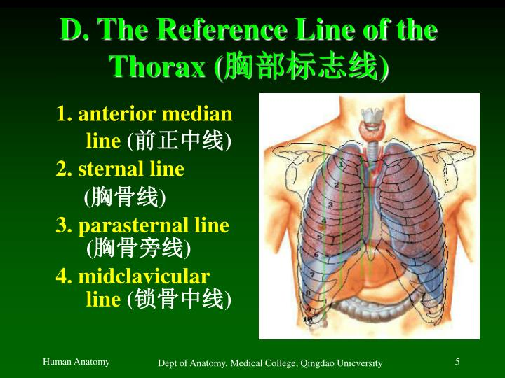 D. The Reference Line of the Thorax (