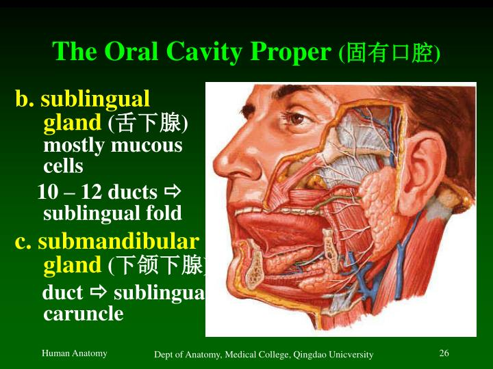 The Oral Cavity Proper
