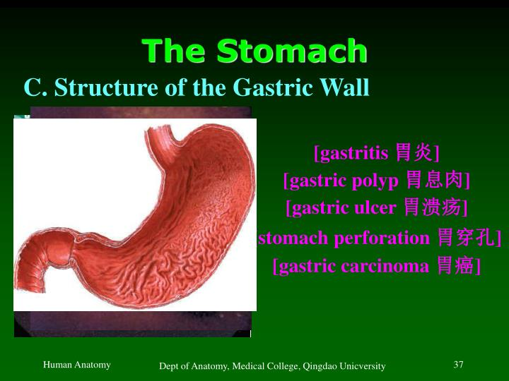 The Stomach