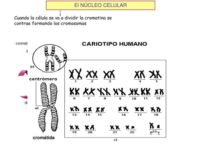 Cuando la célula se va a dividir la cromatina se contrae formando los cromosomas