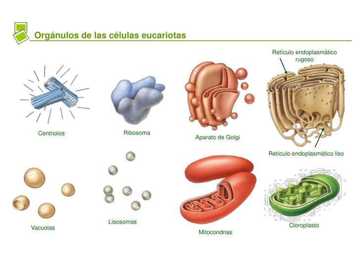 Orgánulos de las células eucariotas