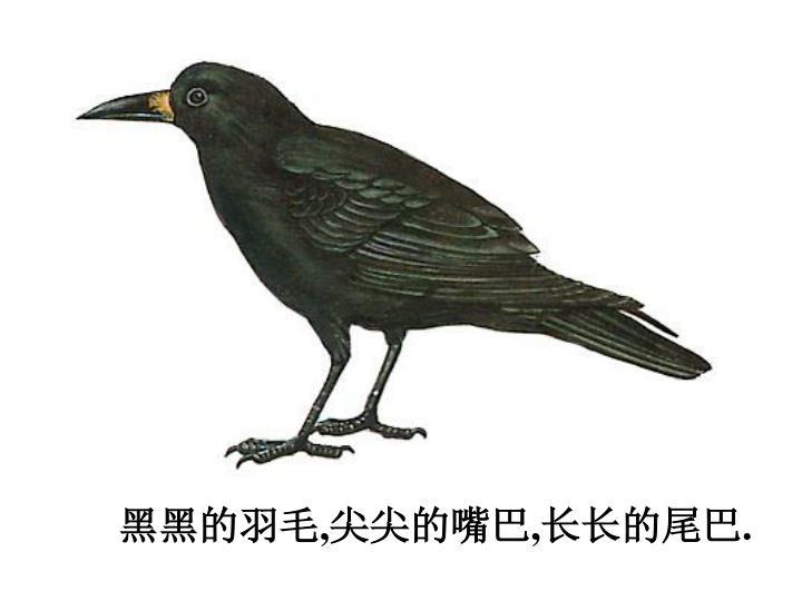 黑黑的羽毛