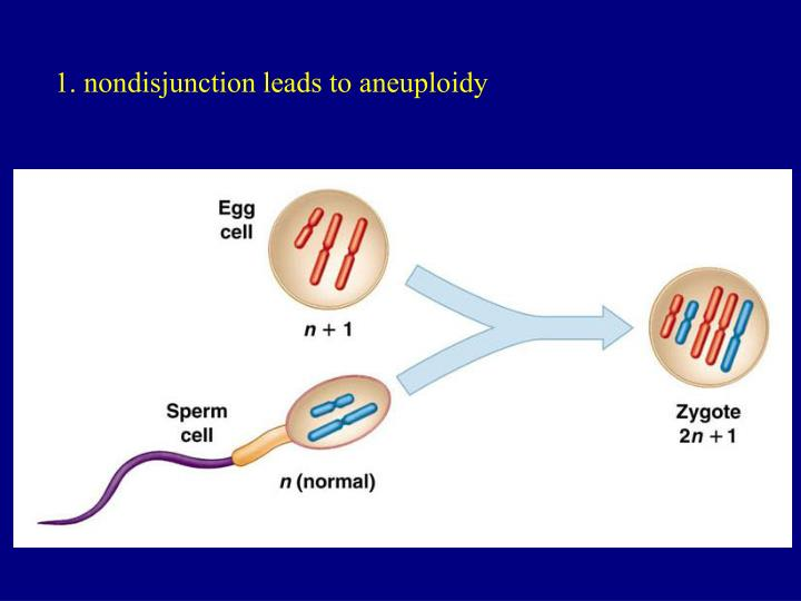 1. nondisjunction leads to aneuploidy